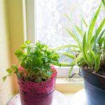 Aloe Vera Plant and Parsley on Window Ledge