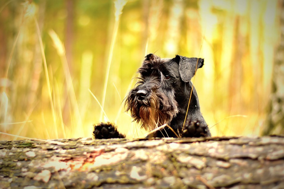 Miniature Schnauzer's Are The Best Golden Years Companion