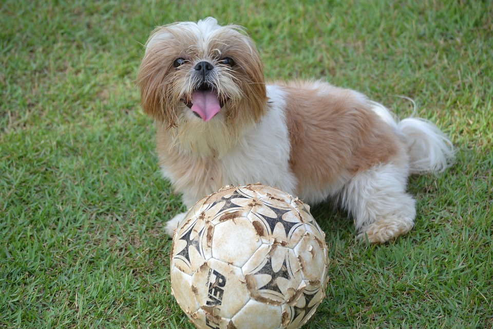 Shih Tzu with ball