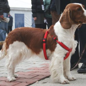 Springer Spaniel in a red harness
