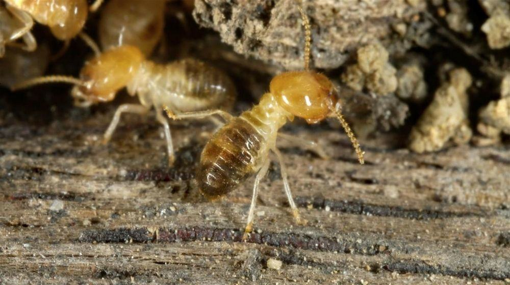 The Damage Deterrent – How to Avoid Termite Infestations
