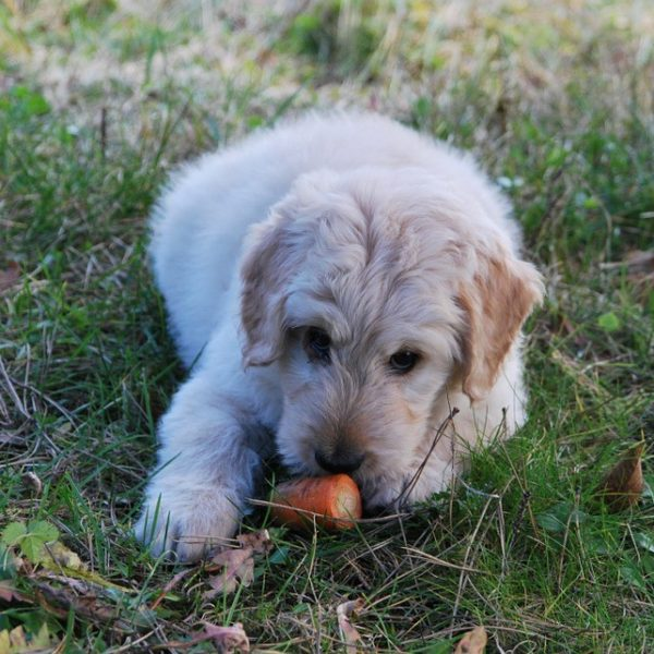 Dog eating a carrot