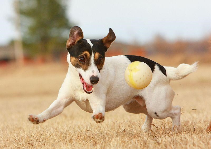 Jack Russell Terrier with ball