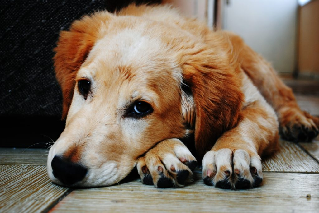 Tan and White Short Coat Dog Laying Down on a Brown Wooden Floor