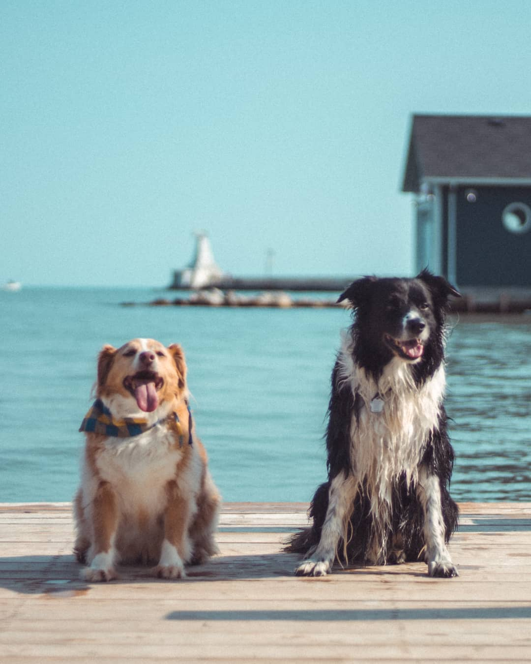 Dogs in Port Stanley