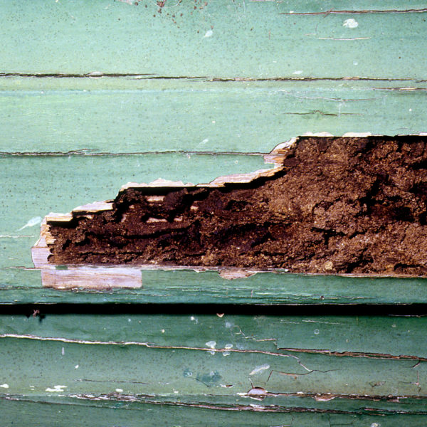 Termite damage in weatherboard cladding