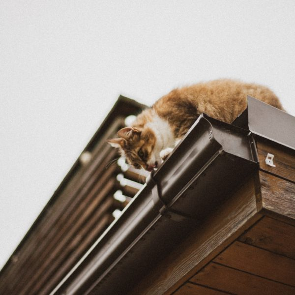 Cat looking into a gutter on a roof