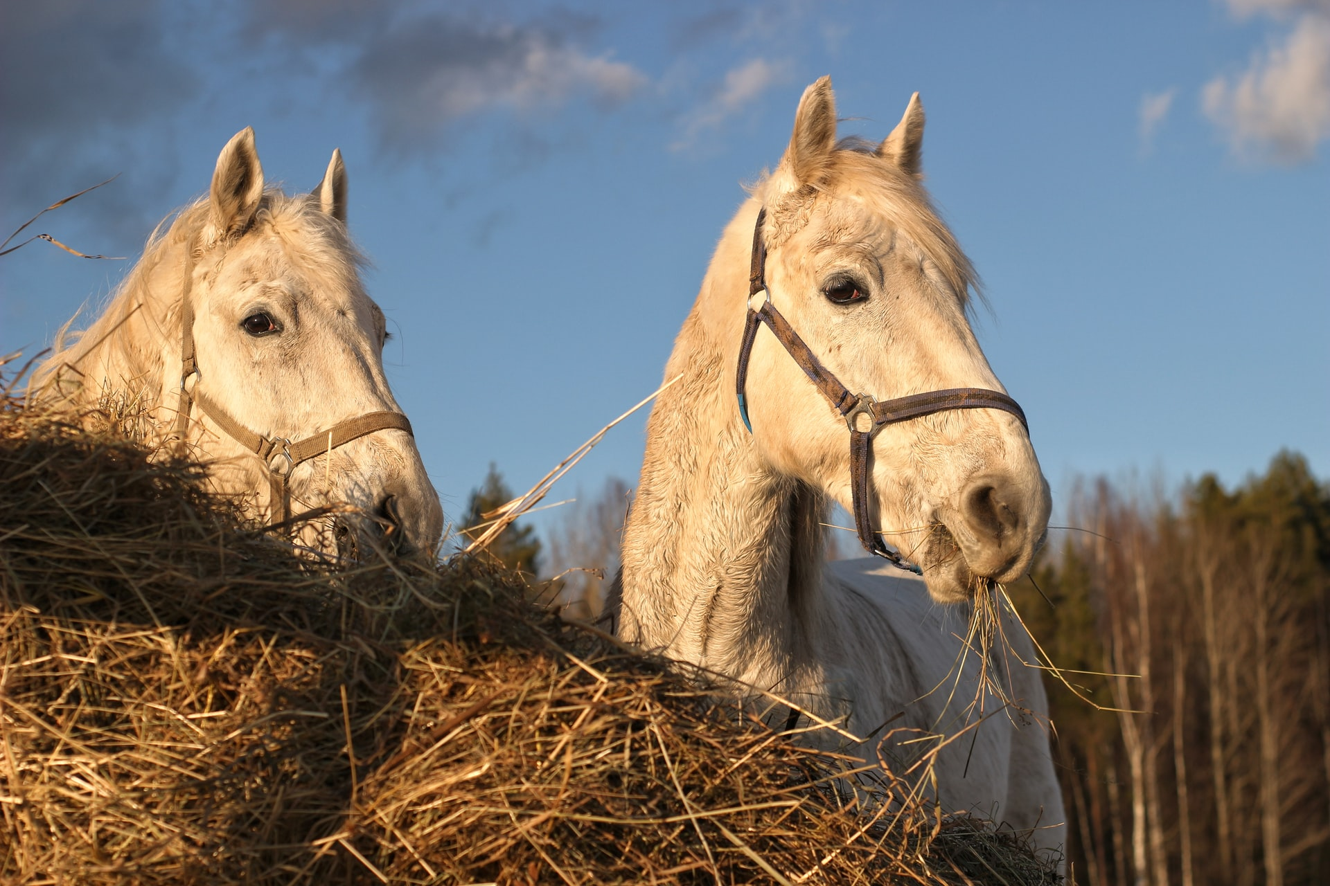 two white horses eating hay