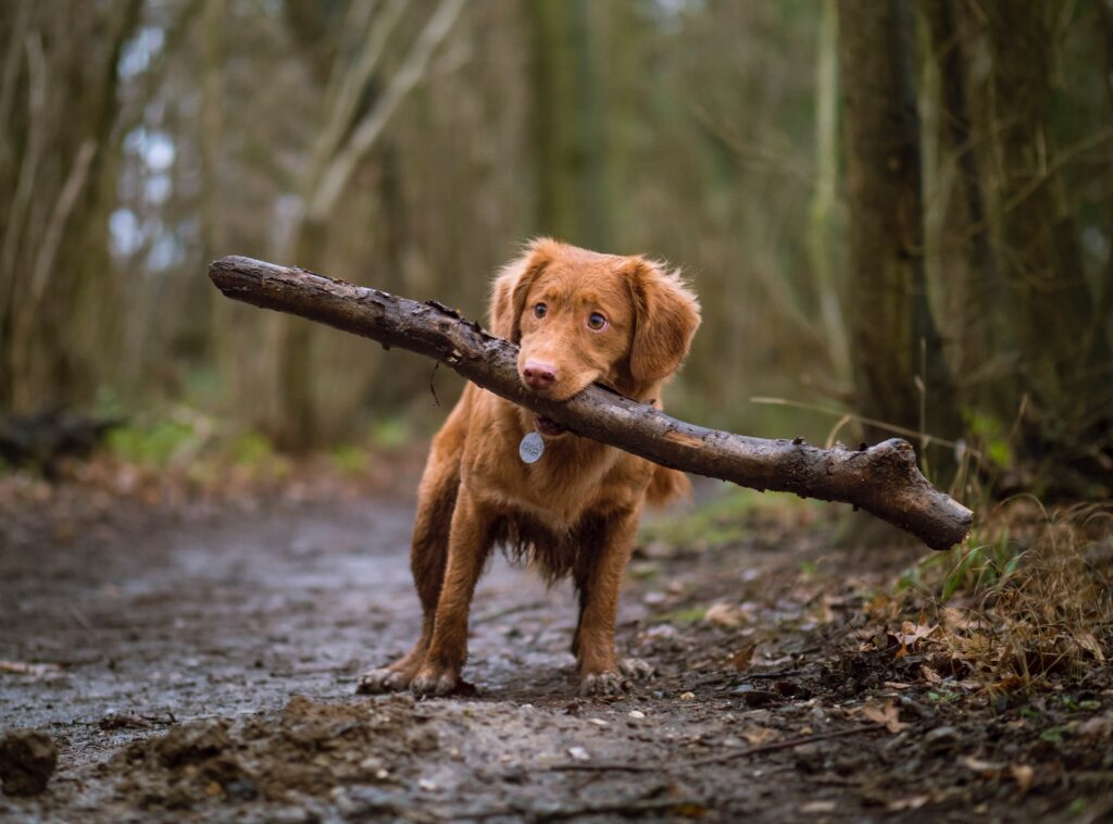 Dog carrying a branch