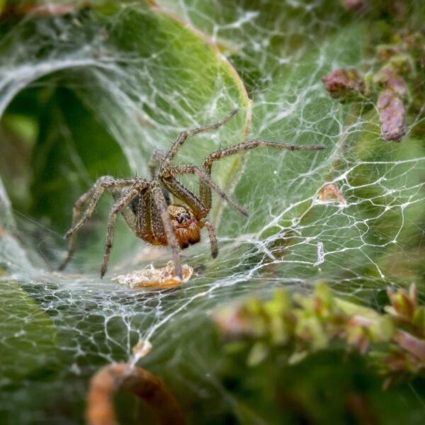 Brown spider on a spider web